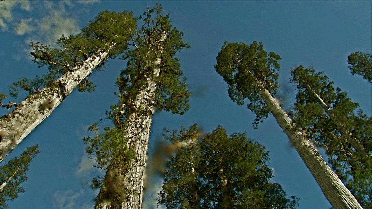 сибирский кедр деревья