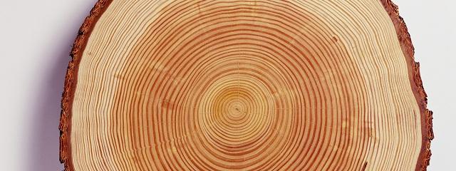 сибирская лиственница фото
