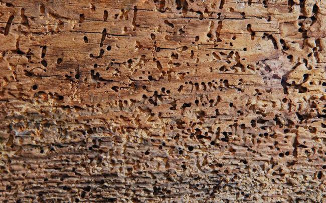 повреждение древесины короедом
